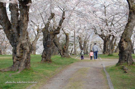 桜道でお散歩